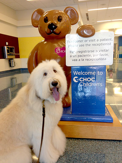 Wally, a labradoodle, participates in CHOC Children's pet therapy program.